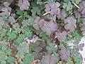Clovers Growing Near a Wall.jpg