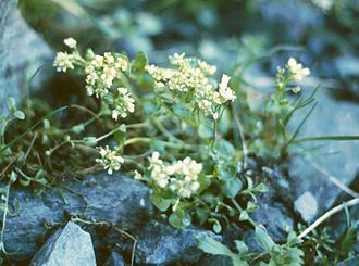 Cochlearia - Cochlearia officinalis subsp. pyrenaica
