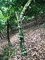Cocoa trees.jpg