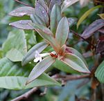 Codonanthe crassifolia