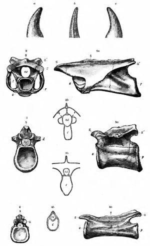 Coelurus - Othniel Charles Marsh's illustration of Coelurus vertebrae from 1884
