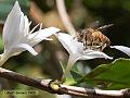 Coffee flower and bee (5662188352).jpg