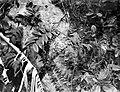 Collectie Nationaal Museum van Wereldculturen TM-10021331 De groei van liaan op een boomstam Saba -Nederlandse Antillen fotograaf niet bekend.jpg