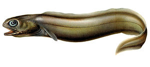 Coloconger raniceps