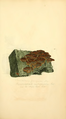 Coloured Figures of English Fungi or Mushrooms - t. 26.png