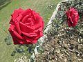 Colourful Roses 04.jpg