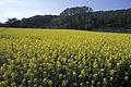 Colza Ile de France Cl jJ Weber07 (23566567242).jpg