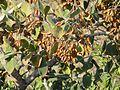 Combretum molle, loof en vrugte, Bronberg, c.jpg