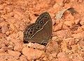 Common Bushbrown Mycalesis perseus by Dr Raju Kasambe DSCN2835 (4).jpg