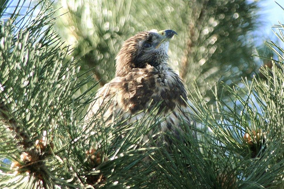 Common Buzzard fledgling in Pinus nigra 2010-06-16