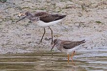 Common Greenshank & Common Redshank.jpg