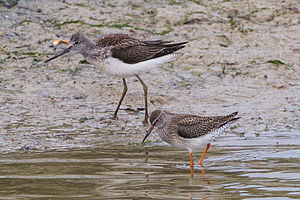 Tringa - Common greenshank (Tringa nebularia) and common redshank (Tringa totanus) at Cuckmere Haven, Sussex, England
