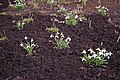 Common Snowdrops (Galanthus) - geograph.org.uk - 1186169.jpg
