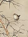 Common Whitethroat (Sylvia communis) (49216904673).jpg