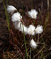 Common cottongrass in a cliff crevice 2.jpg