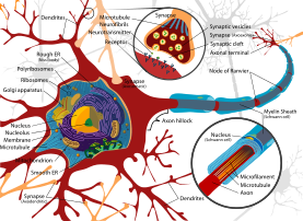Complete neuron cell diagram en.svg