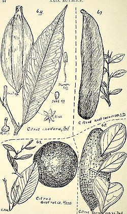 Comprehensive catalogue of Queensland plants, both indigenous and naturalised. To which are added, where known, the aboriginal and other vernacular names; with numerous illustrations, and copious (14779628021).jpg