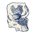 Compsosuchus solus.jpg