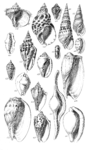 Conchological Manual Plate 20.png