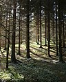 Conifer plantation, Parke - geograph.org.uk - 1210206.jpg