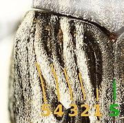 Coniocleonus nigrosuturatus elytron.jpg