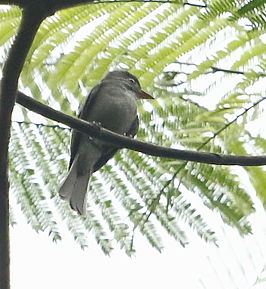 Contopus nigrescens - Blackish pewee.JPG