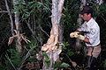 Controlling exotic melaleuca (6887458419).jpg