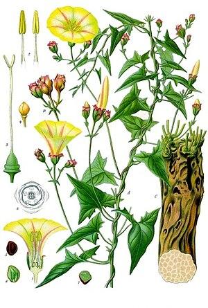 Convolvulus scammonia - Image: Convolvulus scammonia Köhler–s Medizinal Pflanzen 046