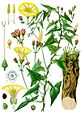 Convolvulus scammonia - Köhler–s Medizinal-Pflanzen-046.jpg