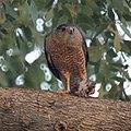 Cooper's Hawk (4546540299).jpg