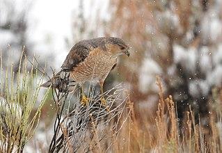 Coopers hawk Species of bird