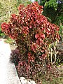 Copperleaf (Acalypha wilkesiana) bush.jpg
