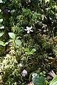 Coptis trifolia (Ranunculaceae) (35795044470).jpg