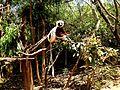 Coquerel's Sifaka Lemurs Park Antananarivo Madagascar - panoramio (1).jpg