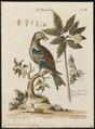 Coracias garrula - 1700-1880 - Print - Iconographia Zoologica - Special Collections University of Amsterdam - UBA01 IZ16700219.tif