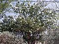 Cordia boisseri whole.jpg