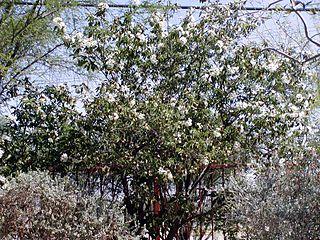 <i>Cordia boissieri</i> species of plant