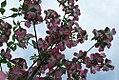 Cornus florida var 3zz.jpg