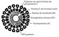 Coronavirus ro.png