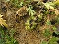 Coronopus didymus inflorescens (09).JPG