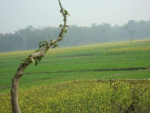 Kumai (village) - Corps of Wheat and Mustard plant