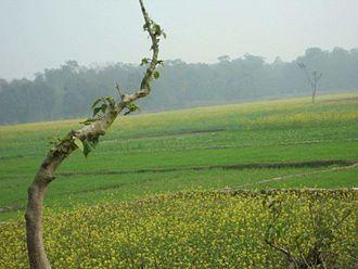 Kumai (village) - Corps of Wheat and Mustard plant