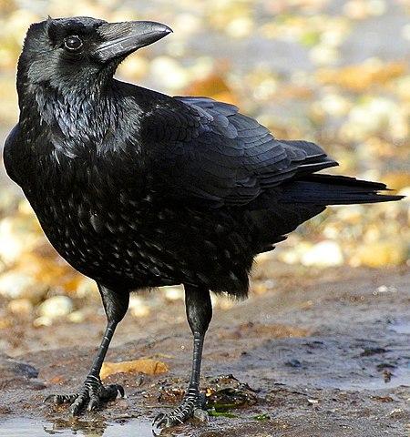 Foto einer schwarzen Aaskrähe am Strand