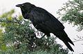 Corvus coronoides with throat feathers out and neck bent.jpg