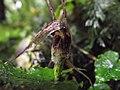 Corybas acuminatus detail.jpg