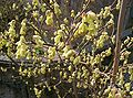 Corylopsis spicata5.jpg