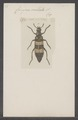 Coryna - Print - Iconographia Zoologica - Special Collections University of Amsterdam - UBAINV0274 028 10 0047.tif