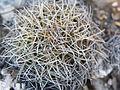 Coryphantha retusa (5739318384).jpg