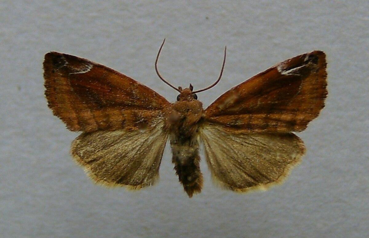 Cosmia pyralina - Wikipedia