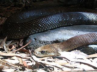 Coastal taipan Highly venomous snake native to eastern and northern Australia